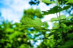 Ветвь молодого дерева, зеленый цвет выходит пошатывая ветер изолированный клен листьев Между деревьями ломает луч солнца Район па Стоковые Фото