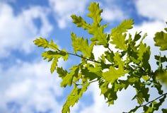 Ветвь молодого дуба на голубом небе Стоковое фото RF