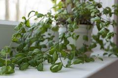Ветвь, мята Буша, завод с зеленым цветом выходит расти в бак, s Стоковое Изображение RF