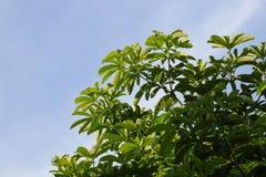 Ветвь на небесно-голубом, зеленый цвет лист дерева свежая ландшафта ветви лесного дерева, зеленый цвет естественный, форма дерева Стоковое Изображение
