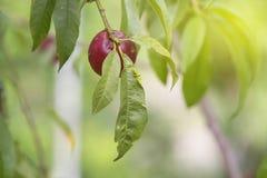Ветвь нектарина Стоковое Изображение