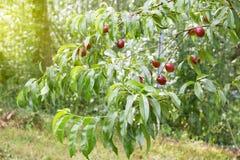Ветвь нектарина Стоковые Фото