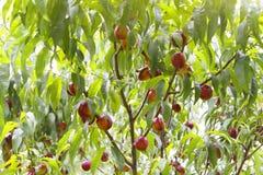Ветвь нектарина Стоковое Фото