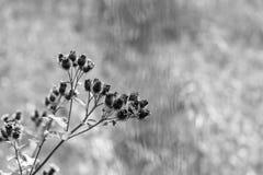 Ветвь одичалого шиповатого тона monochrome цветков Стоковое Фото