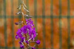 Ветвь одичалых цветов сирени Стоковые Фото