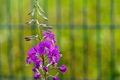 Ветвь одичалых цветов сирени Стоковые Изображения