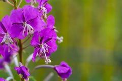 Ветвь одичалых цветов сирени Стоковое фото RF