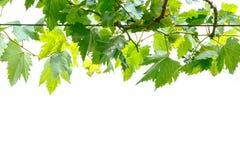 Ветвь лозы виноградины Стоковые Фото