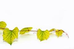 Ветвь лозы на белой предпосылке Стоковая Фотография