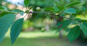 Ветвь оливкового дерева в саде Стоковые Изображения