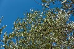 Ветвь оливкового дерева на предпосылке голубого неба стоковые изображения