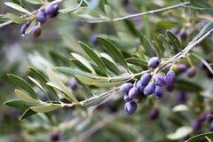 Ветвь оливкового дерева Стоковые Изображения