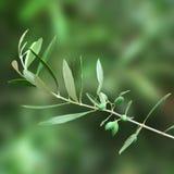Ветвь оливкового дерева Стоковое Фото