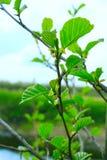 Ветвь ольшаника весной Стоковая Фотография RF