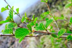 Ветвь ольшаника весной Стоковые Фотографии RF