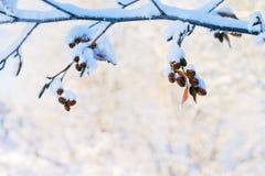 Ветвь ольшаника с конусами стоковое изображение
