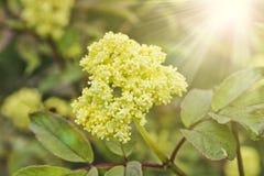 Ветвь орнаментального Sambucus elderberry с желтыми цветками в солнце стоковое фото rf