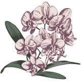 Ветвь орхидеи Стоковое Фото
