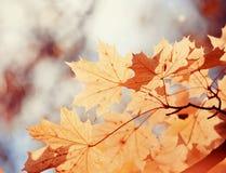 ветвь осени выходит клен Стоковые Фотографии RF