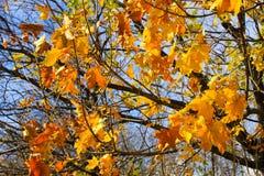 ветвь осени выходит клен Стоковое Изображение