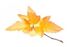 Ветвь осени при листовые золота изолированные на белизне Стоковая Фотография
