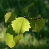 ветвь осины Стоковые Фото