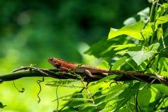 Ветвь острова хамелеона Стоковая Фотография RF