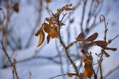 Ветвь одичалого подняла Стоковое Изображение RF