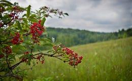 Ветвь одичалых красных ягод Стоковые Фотографии RF