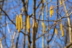 Ветвь ольшаника с Catkins против неба и леса Стоковые Фотографии RF