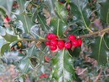 Ветвь падуба нося красные ягоды стоковое фото rf