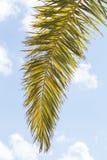 Ветвь пальмы стоковая фотография rf