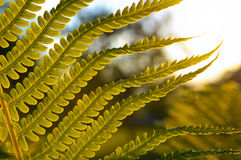Ветвь папоротника на заходе солнца Стоковое Фото
