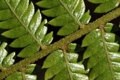 Ветвь папоротника Стоковые Фото