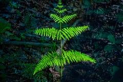 Ветвь папоротника Стоковое Изображение
