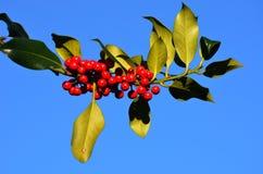 Ветвь падуба с ягодами Стоковые Изображения