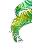 Ветвь пальмы изолированная на белой предпосылке Стоковая Фотография RF