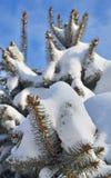 ветвь покрыла вал снежка ели Стоковые Фото