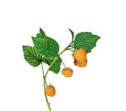 Ветвь поленики при желтые изолированные ягоды Стоковое Изображение RF