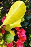 ветвь предпосылки цветет лимон Стоковые Изображения