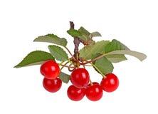 Ветвь при изолированные листья и плодоовощ кислой вишни Стоковое Изображение RF
