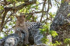 ветвь пряча горячего леопарда лежит вал солнца тени Леопард прячет от солнечных горячих лучей на дереве Леопард (pardus пантеры) Стоковое Изображение