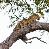 ветвь пряча горячего леопарда лежит вал солнца тени Стоковое Фото