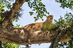 ветвь пряча горячего леопарда лежит вал солнца тени стоковое изображение rf