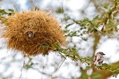ветвь птицы акации около гнездя сидит Стоковая Фотография