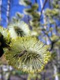 ветвь пчелы blossoming Стоковое Фото