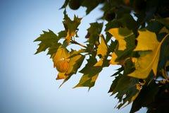 Ветвь платана Стоковая Фотография RF