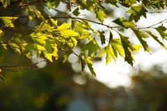 Ветвь платана Стоковая Фотография