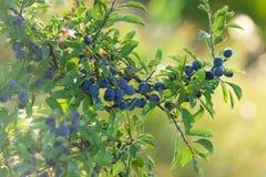 Ветвь плодоовощ ягоды Стоковое Изображение RF