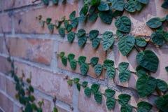 Ветвь распространяя на стене стоковое фото rf